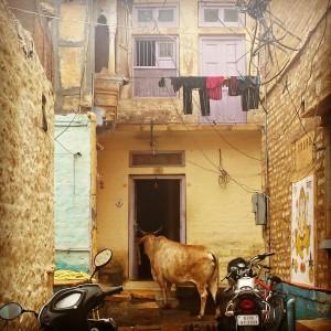 Inde_Vache